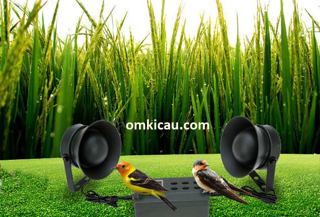 Kicauan burung dapat meningkatkan produktivas tanaman padi
