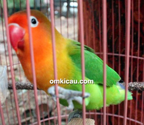 Lovebird Klara