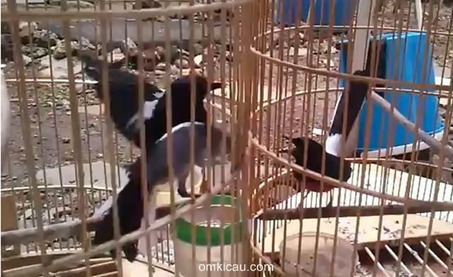 Mengatasi burung yang banyak ulah dengan tali ties