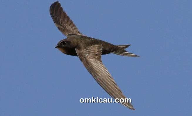 burung-common-swift