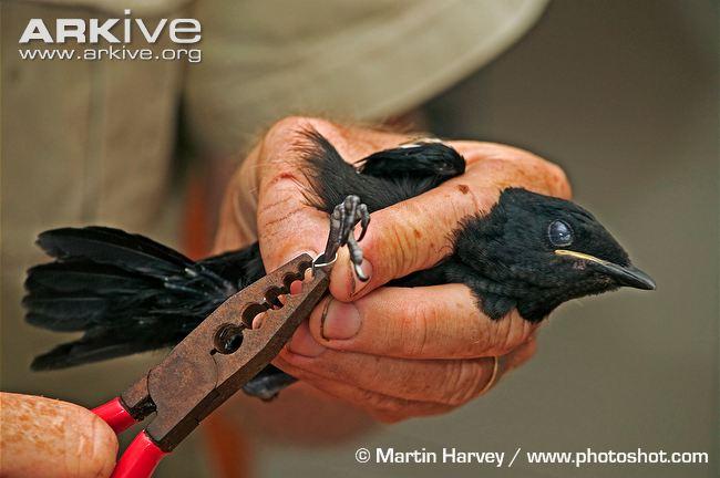 Burung remaja yang sedang dpasangi ring pengenal