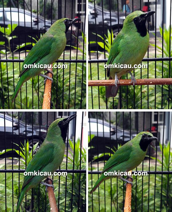 Cucak hijau C-Monk
