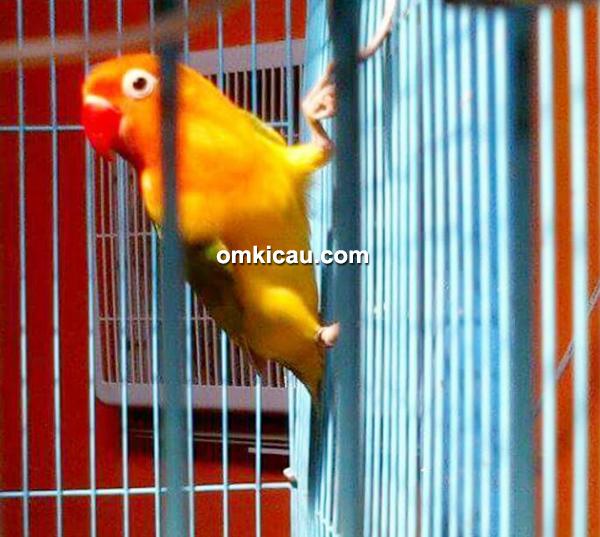 Induk lovebird Awe We