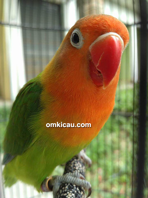 Lovebird Happy