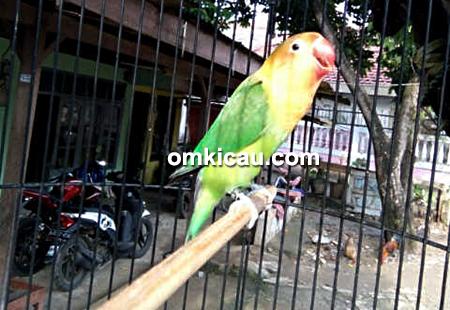 Lovebird baby Samanta