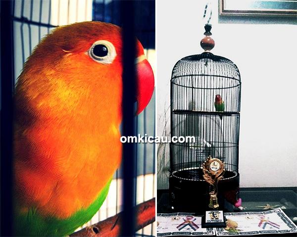 Lovebird Sekar Galuh