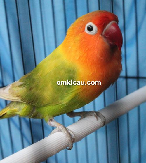 Lovebird Sinta