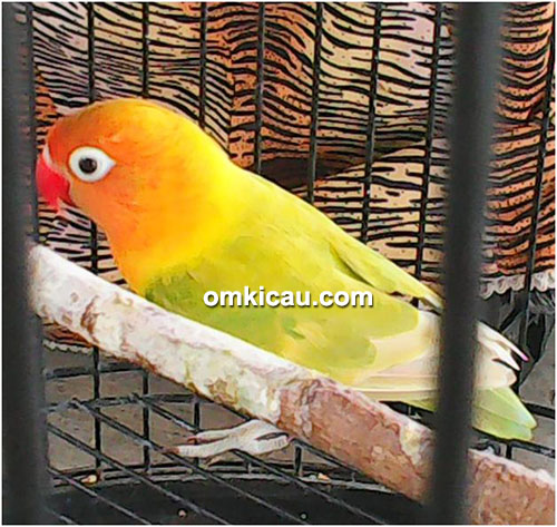 Lovebird Genit