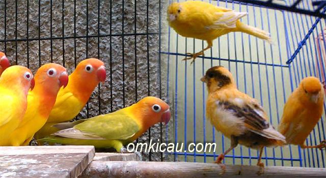 Resep pakan ternak untuk kenari dan lovebird