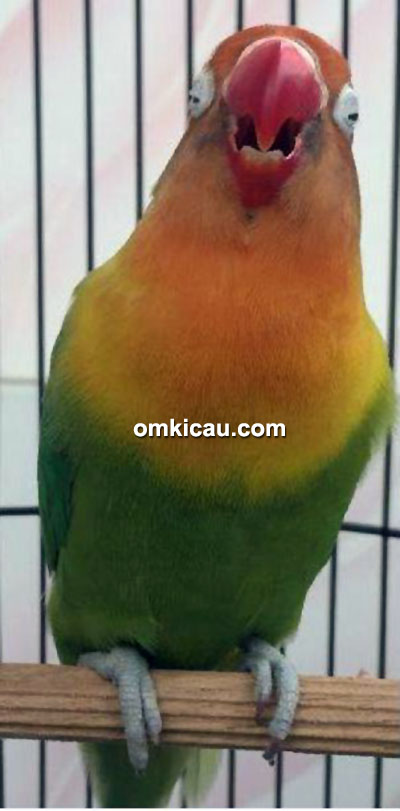 Lovebird Ababil