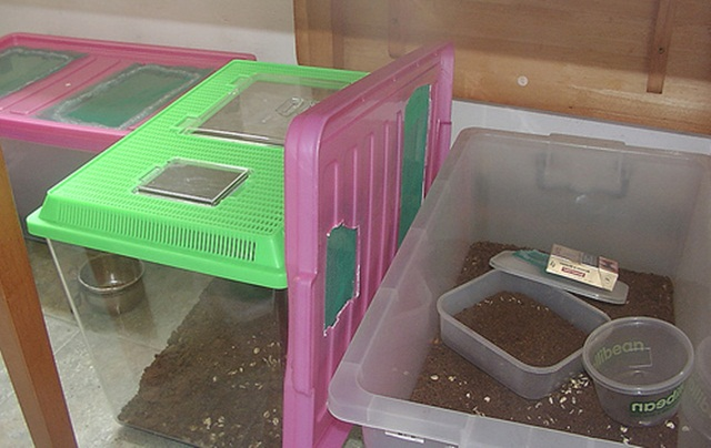 Tempat/wadah yang digunakan untuk membudidayakan suris atau Pineapple beetles
