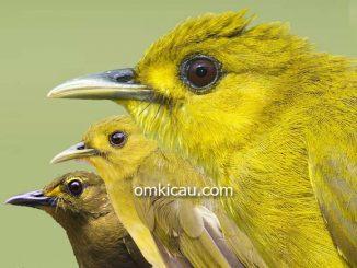 Burung brinji-emas yang sebelumnya terdiri dari 9 sub-spesies kini menjadi 3 jenis burung
