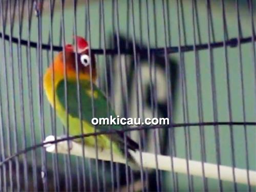Lovebird Suka-Suka