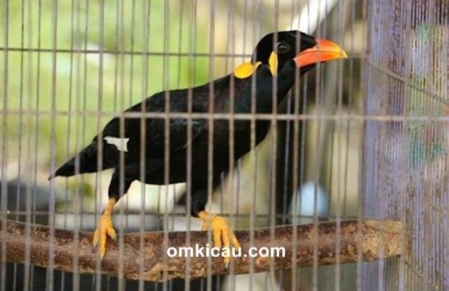 Burung beo nias atau tiong nias yang pandai meniru suara