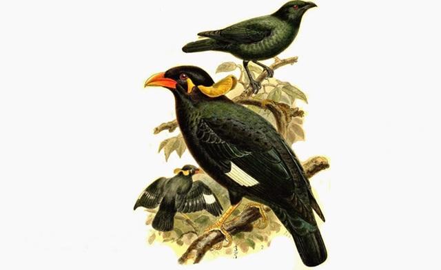 Burung beo adalah jenis burung yang dilindungi