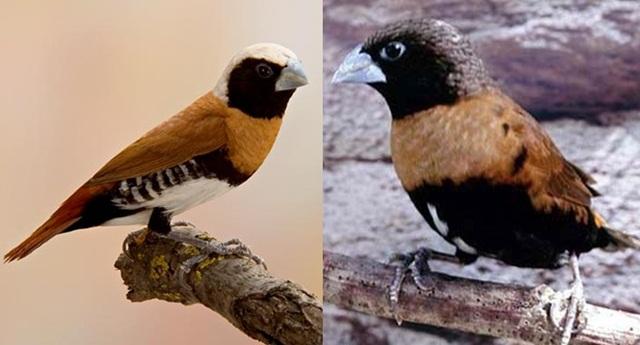 Bondol dada-coklat ras sharpii (kiri) dan burung yang memiliki warna fase melanistik