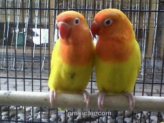 cara-menangkarkan-burung-lovebird
