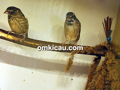 Pasangan burung blackthroat
