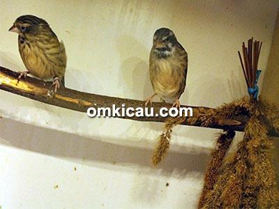 Pasangan burung blackthroat
