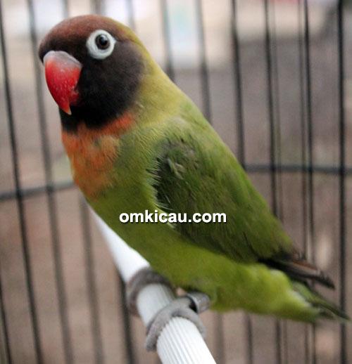 Lovebird Gissela