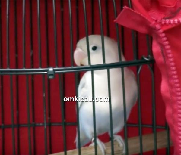 Lovebird Rosiddin