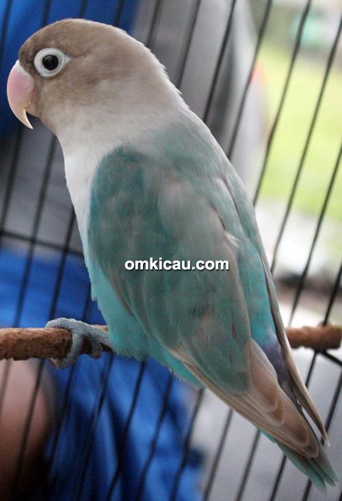 Lovebird Satria