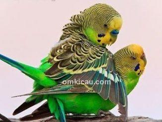 Mengatur birahi burung