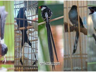 Beberapa jenis burung peliharaan yang berekor panjang