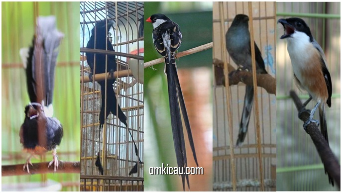 merawat-burung-berekor-panjang