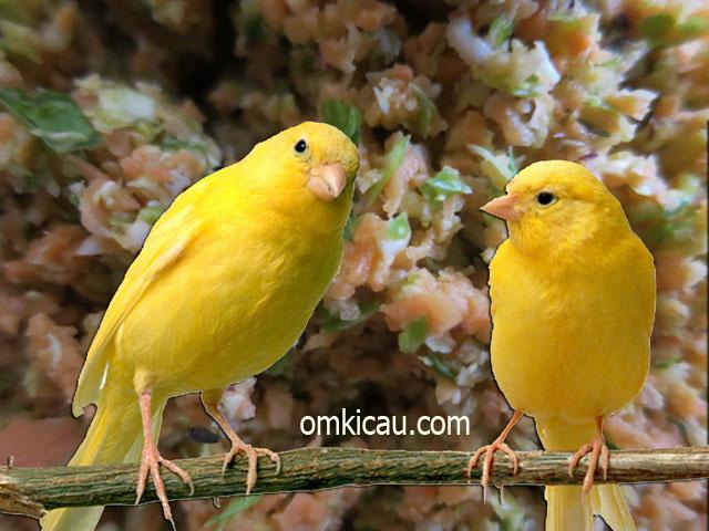Ubi jalar dan wortel dapat diracik menjadi pakan kaya manfaat untuk burung kenari