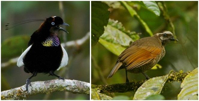 Penampilan burung p arotia foja jantan dan betina (kanan)