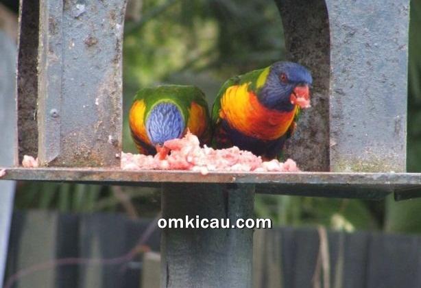 Burung perkici pelangi yang menyantap daging