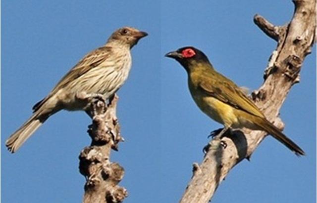 Perbedaan burung-ara timor betina dan jantan (kanan)