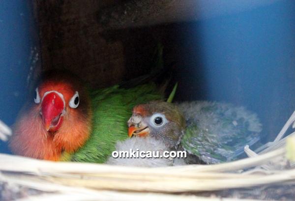 Breeding lovebird trah juara