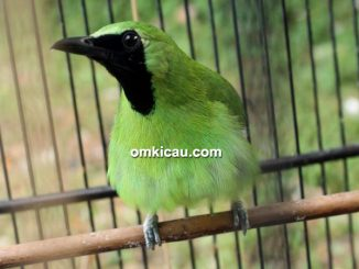 Cucak hijau Bos Jawa