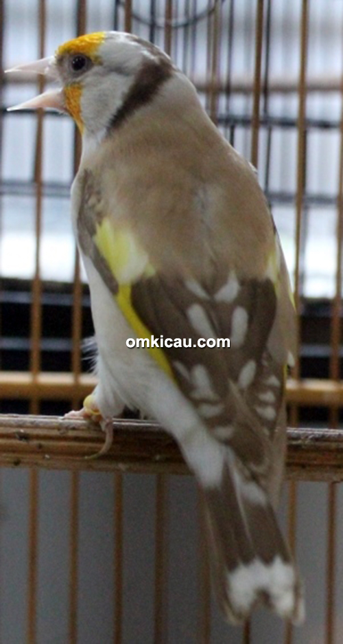 Goldfinch major Trisakti BF