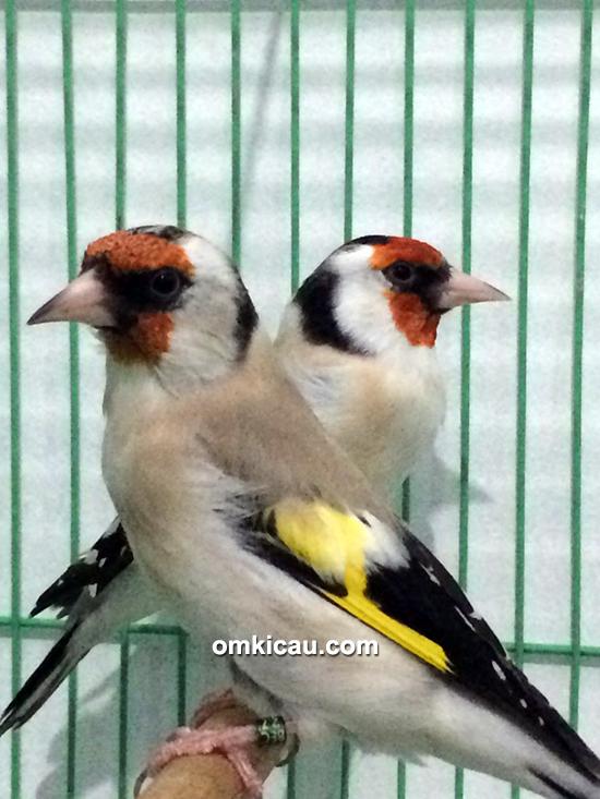 Goldfinch major Trisakti BF