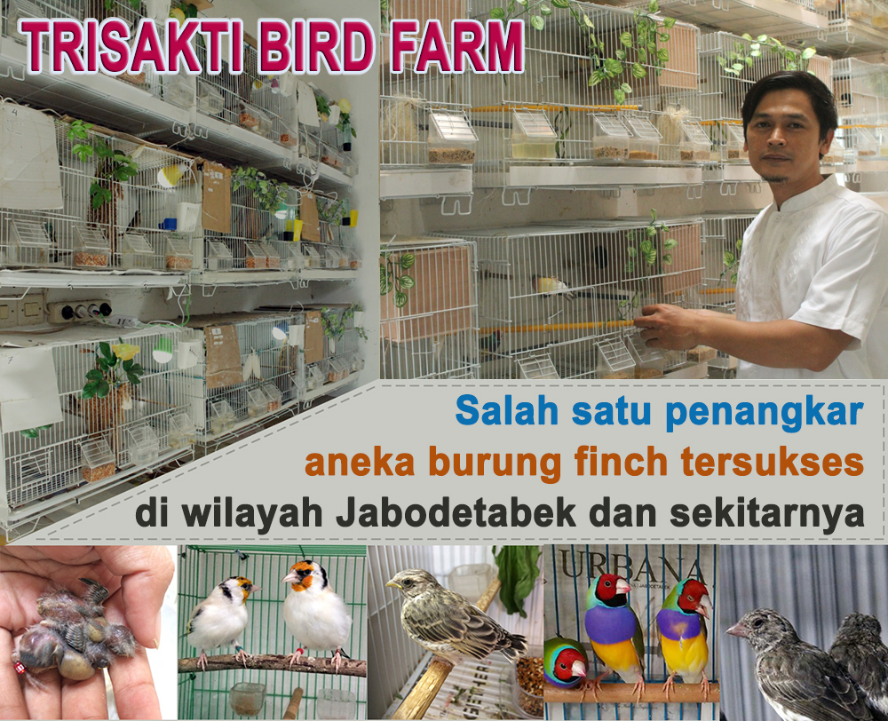 Breeding burung finch Trisakti BF