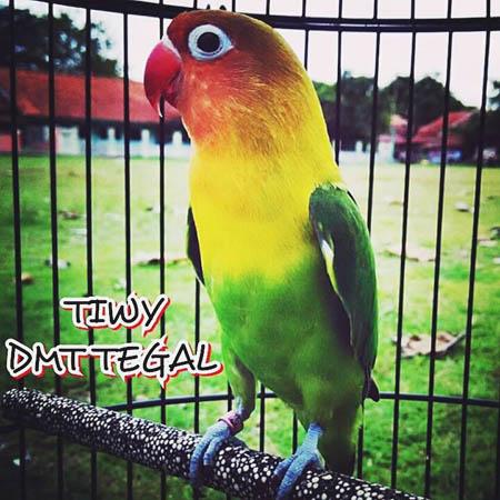 Lovebird Tiwy