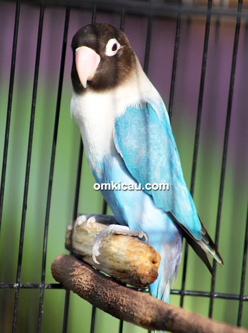 Lovebird Juminten