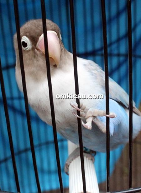 Lovebird Roro Jonggrang
