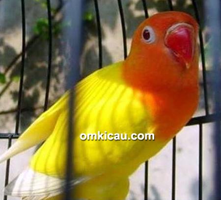 Lovebird Koslet