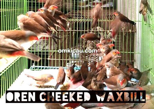 Oren cheeked waxbill