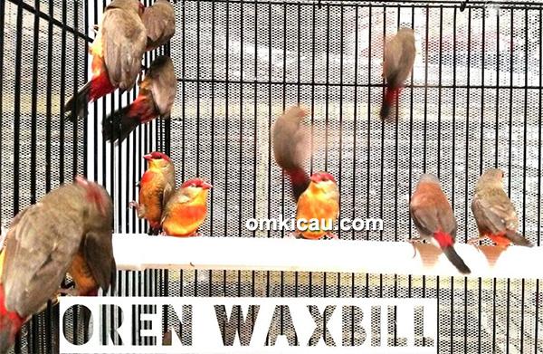 Oren waxbill