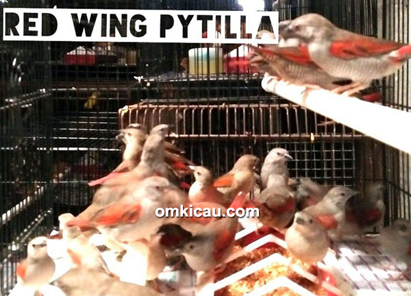 Red Wing Pytilla