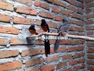 Breeding murai batu model poligami murni