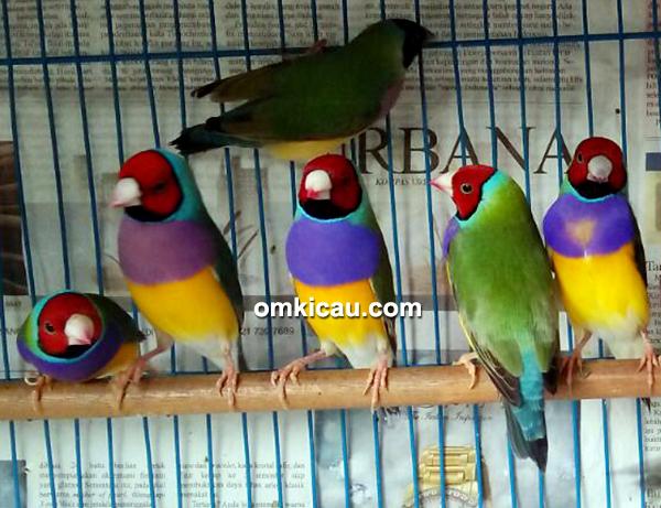 Breeding burung finch Trisakti BF