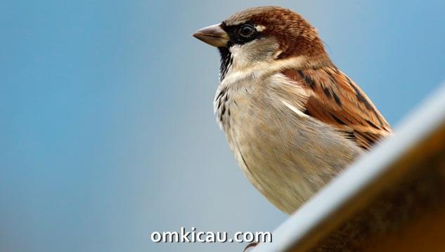 Suara masteran burung gereja terbaru