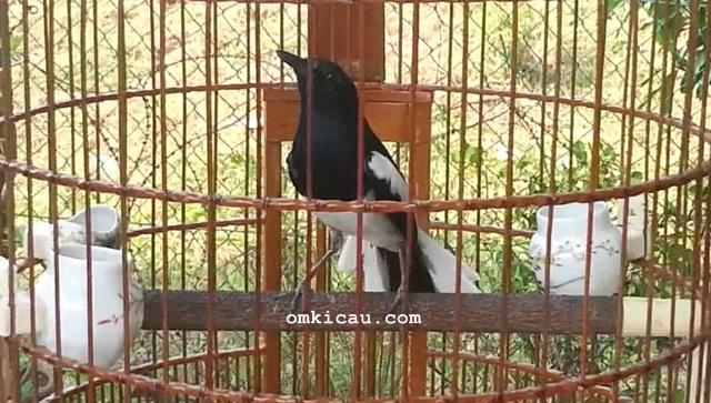 Menjaga kondisi burung kacer agar selalu tampil maksimal