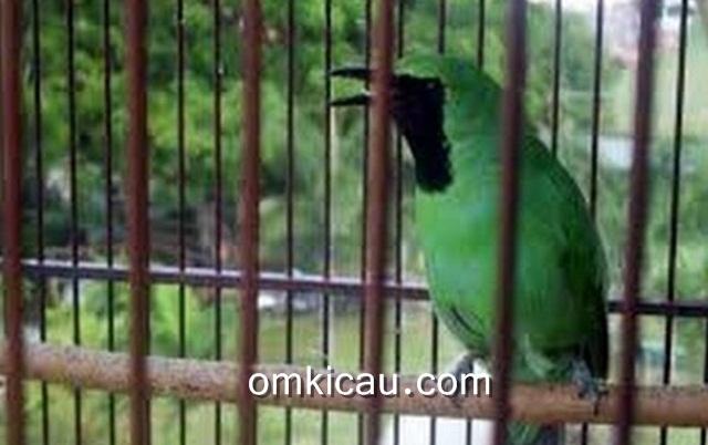 Tips mengatasi burung cucak hijau yang nyulam tanpa henti